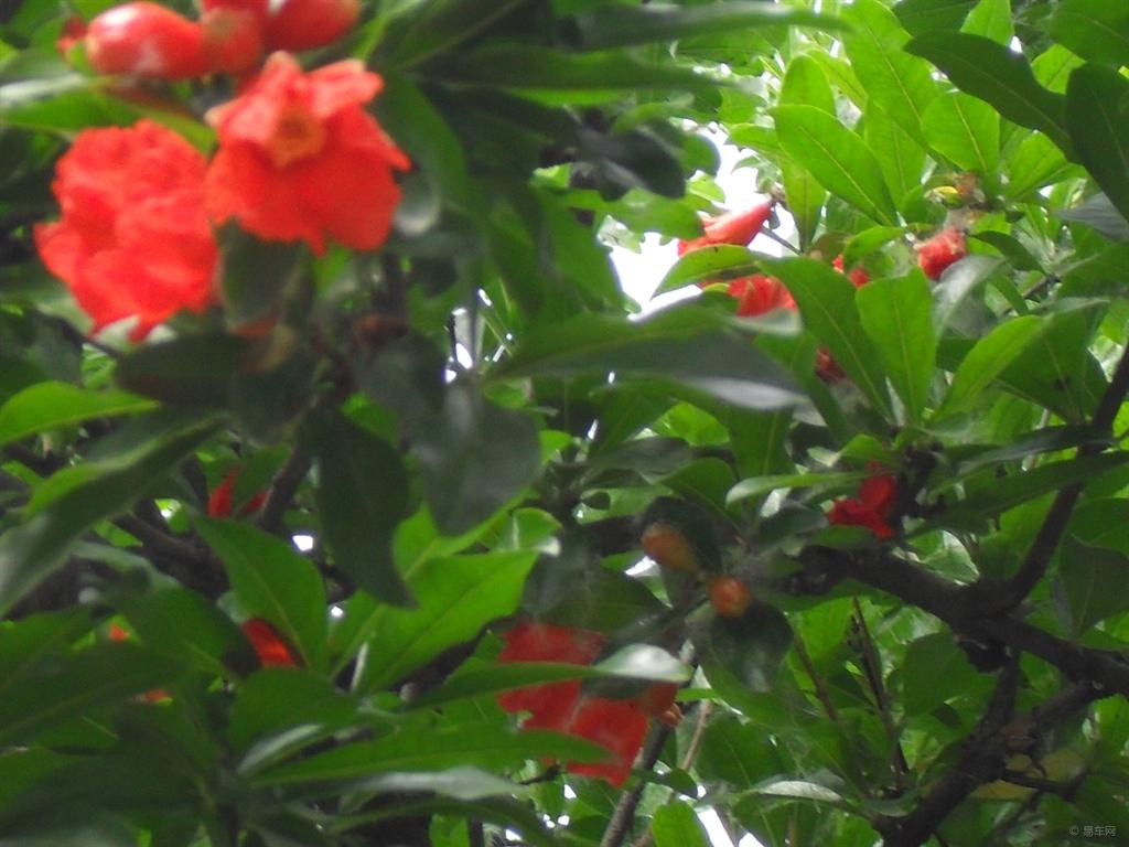 我家的石榴树,从开花到结果