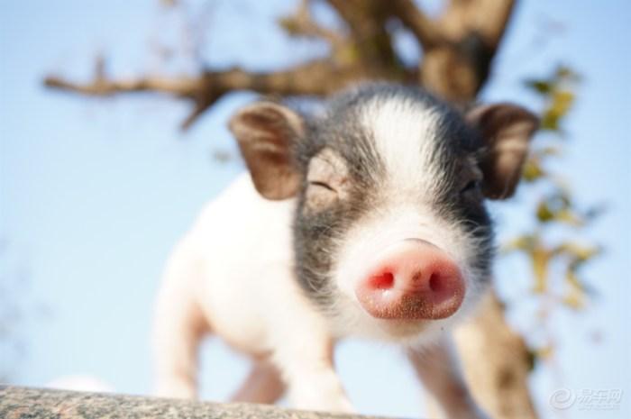 【【家有二货】超级可爱的宠物猪-----噢巴马】