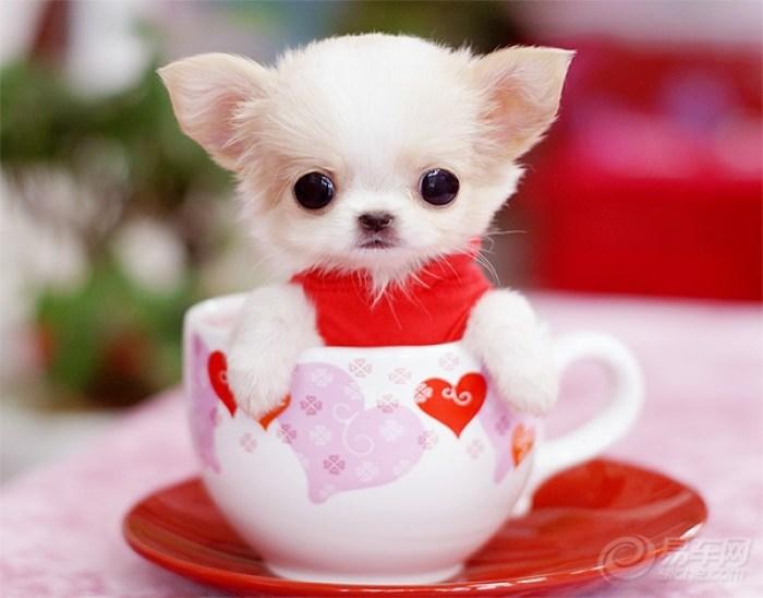 茶杯犬:5000-10000,这是高级宠物犬.