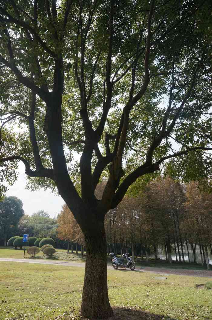 香樟为樟科常绿乔木,高达55米,树龄成百上千年,可成为参天古木,为优秀