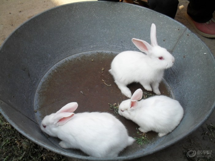 【【阳光萌宠】三只可爱的小白兔】