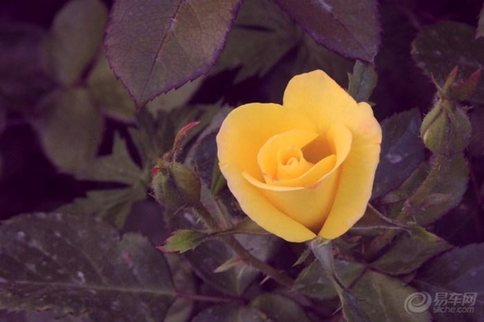 风景 一路 花开/月季花在我们这里都叫它刺玫瑰,近日我家附近在修路,开车开...