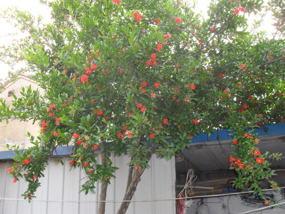 【【申牛】我家的石榴树