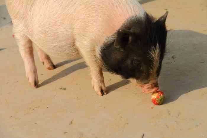 下面就请大家欣赏可爱的宠物猪吃草莓哟.