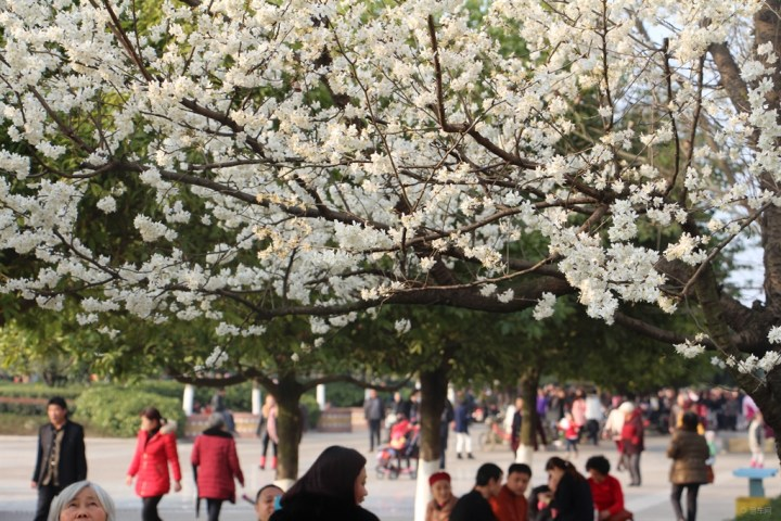 植物 樱花 热闹/樱桃花与樱花外形极其相似,但它们属于不同种类的植物;两种花...