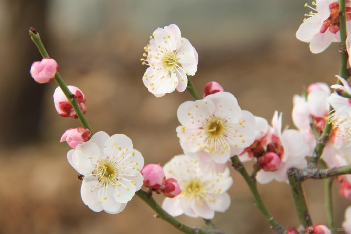 【每周一景】第74期 北京鹫峰国家森林公园赏梅花