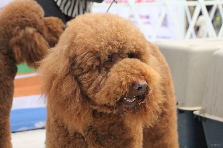 【巨型泰迪】_宠物当家论坛