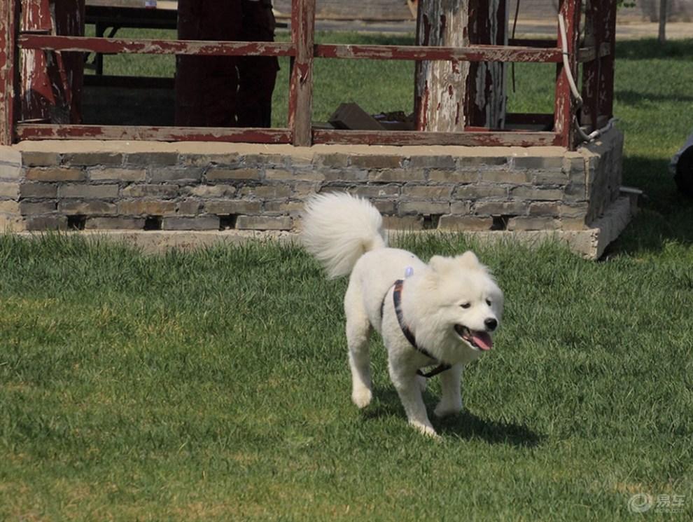 萨摩犬多大_玩耍的萨摩犬