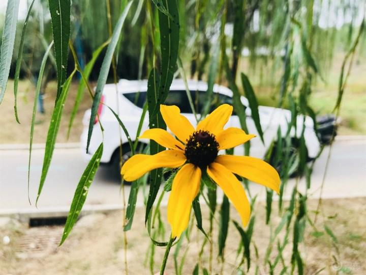 秋日里的一朵艳丽的小花,黄色是最能展现秋天的颜色